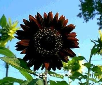 Sunflower, Velvet Queen, 100 seeds