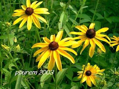 Black Eyed Susan, 2500 seeds
