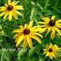 Black Eyed Susan, 2500 seeds