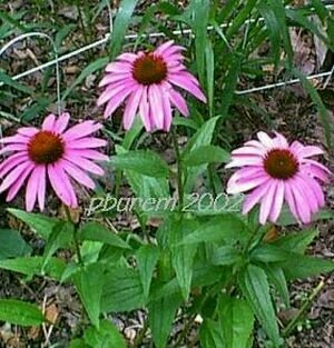 Purple Coneflower, 450 seeds