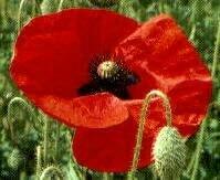 Flanders Poppy, Red Poppy, 5000 seeds