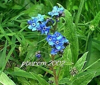 Annual Forget me Not - 500 seeds