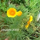 California poppy 400 seeds