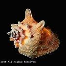 Cone Print Shell Photo Print 8x10