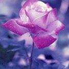 Pink Petals Giclee Art Print 12x16