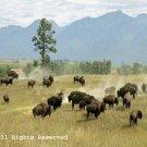 Buffalo on the Range Giclee Art Print 12x16