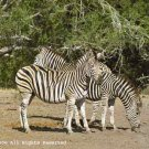 How Many Zebras Giclee Art Print 12x16
