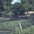 Low Water Buffalo Crossing Giclee Art Print 12x16