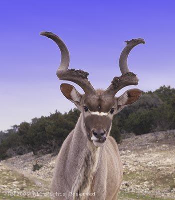 Kudu Giclee Art Print 12x16