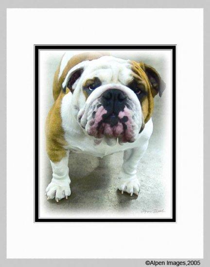 Bulldog Dog Art Print Matted 11x14