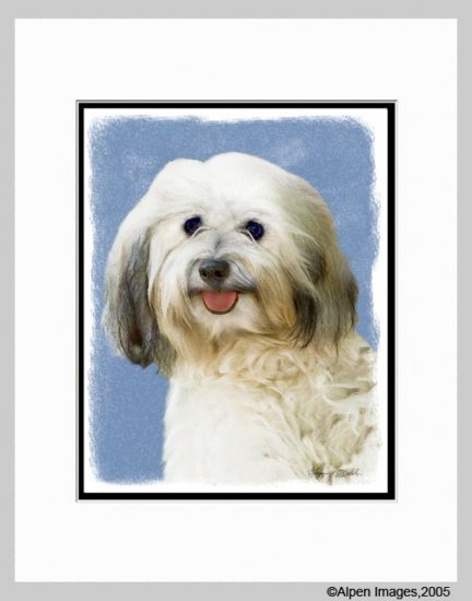 Havanese Dog Matted Art Print 11x14