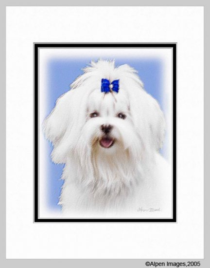 Maltese Dog Art Print  Matted 11x14