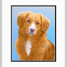 Nova Scotia Duck Tolling Retriever Print Matted 11x14