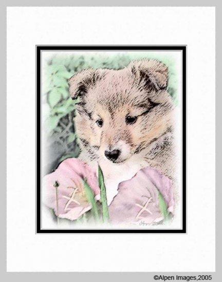 Sheltie Shetland Sheepdog Puppy Dog Print Matted 11x14