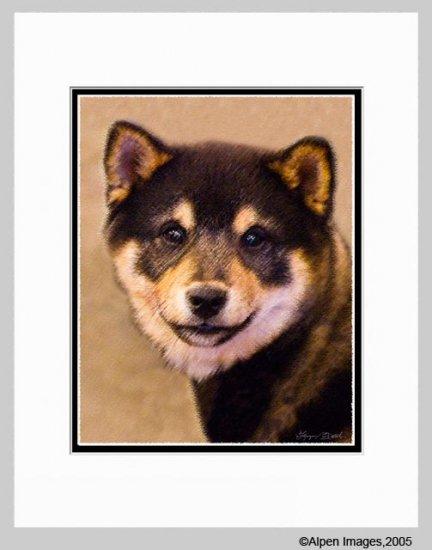 Shiba Inu Dog Matted Art Print 11x14