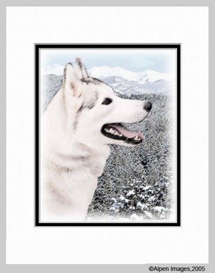 Siberian Husky Art Print Matted 11x14