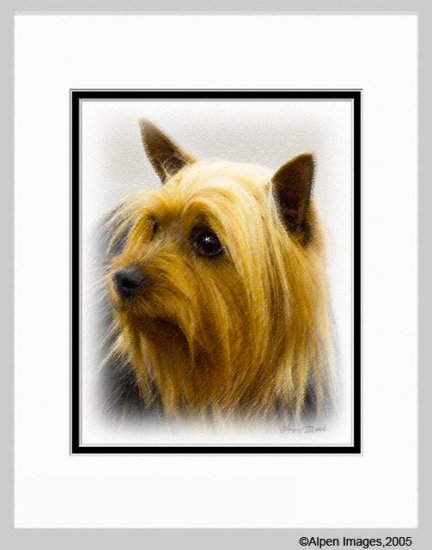 Silky Terrier Dog Matted Art Print 11x14