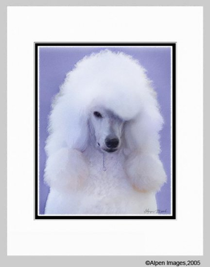 Standard Poodle Matted Art Print 11x14