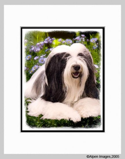 Bearded Collie Dog Art Print Matted 11x14