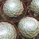 Sempervivum arachnoideum cv. 'Cebenese'