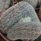 Lobivia famatimensis cristata