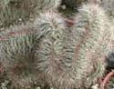 Lemaireocereus hollianus cristata