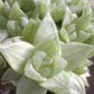 "Haworthia retusa acuminata variegata ""White Ghost"""