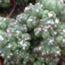 Cereus monstrose Petra