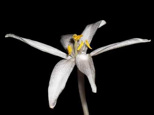 Gethyllis verticillata