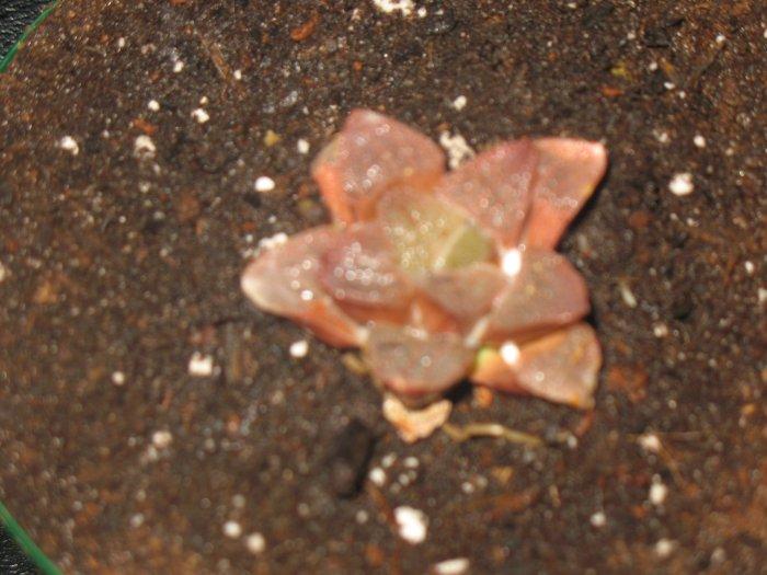 Haworthia Pygmea Pink Variegate
