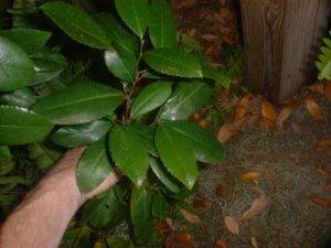 live southern oak tree seedling 8-10 inch