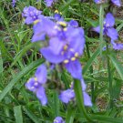 Wild Iris, Blue Flag purple iris plant Iris setosa