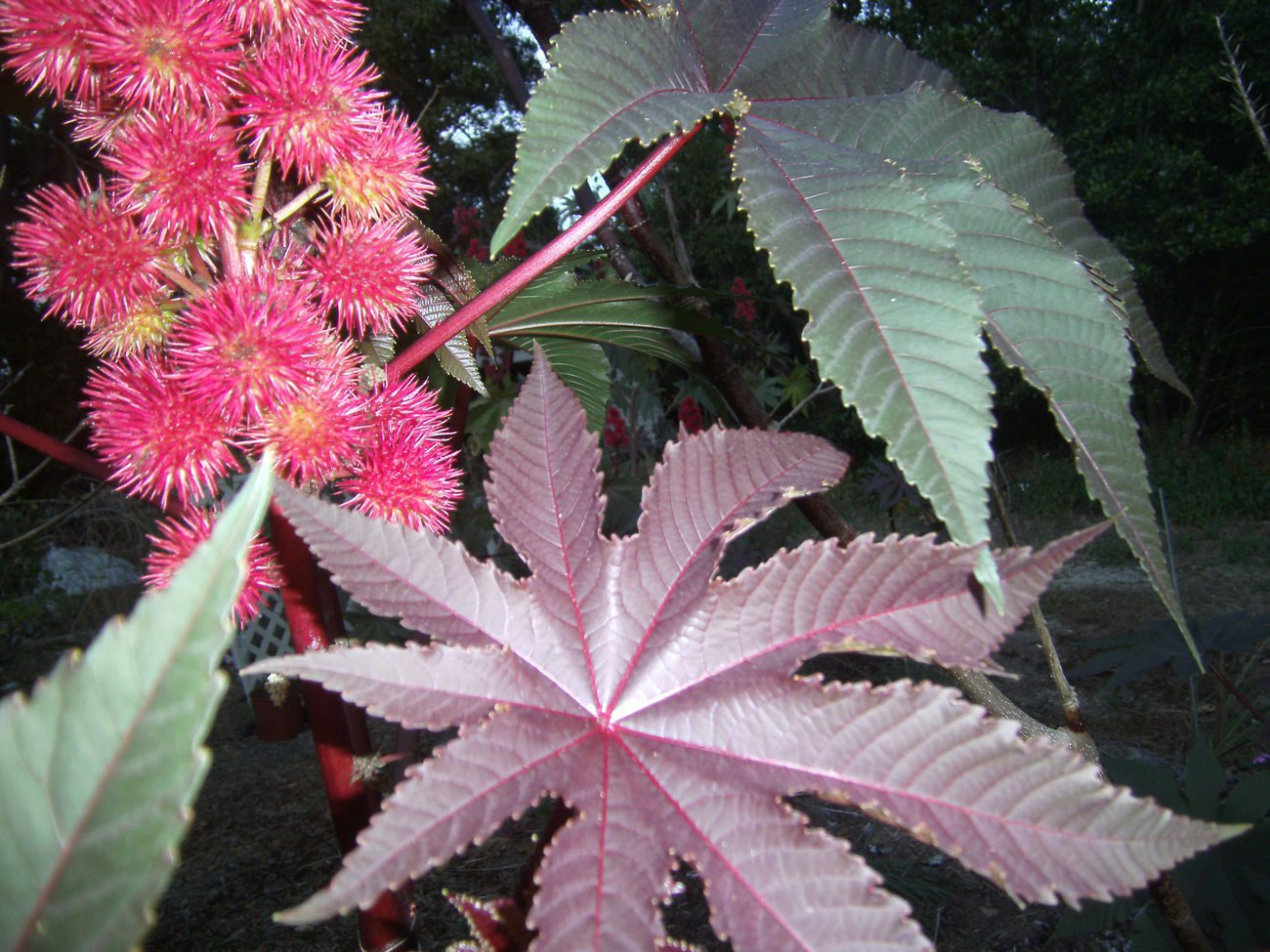 Castor bean 35 seeds Carmencita red leaves bright red flowers fast grow privacy