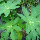 5 fresh leaves Papaya leaf plant Chikungunya medical use