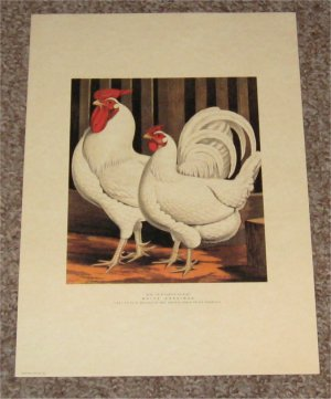 Antique Chicken Poultry Print Miss Fairhursts White Dorkings 1873