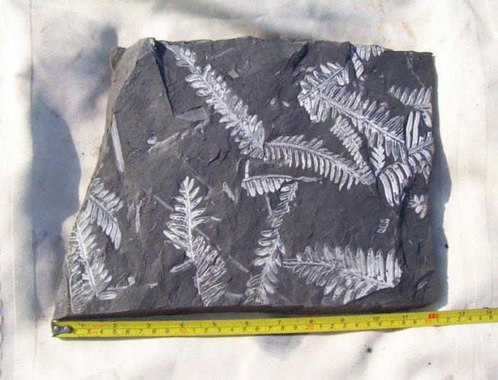Large PA Fern Fossil Slab: item#1112