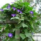 Purple Morning Glory seeds