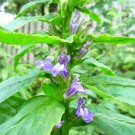 Great Blue Lobelia seeds