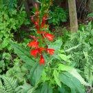 Cardinal flower/Lobelia cardinalis seeds