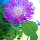Centaurea dealbata/Persian cornflower plants