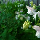 Columbine Aquilegia white and pink seeds mix