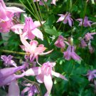 Columbine Aquilegia Lt purple seeds