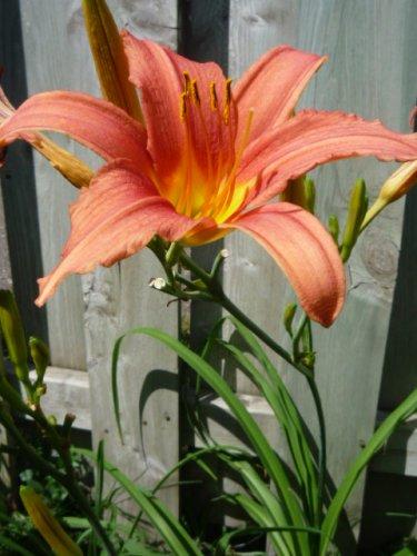 Hemerocallis fulva Daylily orange Tiger daylily