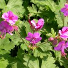 Geranium Bevan's Variety plant