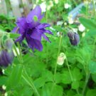 Columbine purple seeds