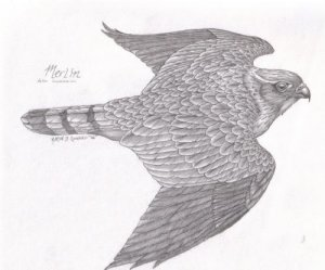 Native American Art Pencil Drawing Merlin by Aaron Guerro