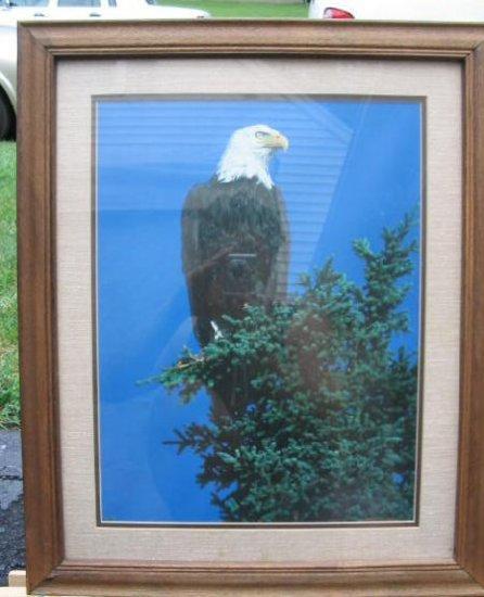 Vintage Bald Eagle Photo Print Glassed Framed Patriotic