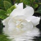 Gardenia shea butter/oliveoil soap 5.00oz