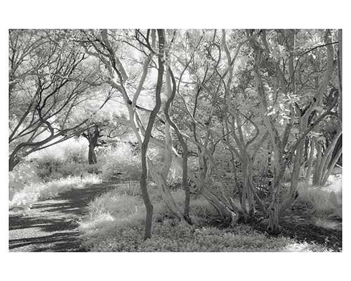 """Crepe Myrtle Grove"" Fantasy Infrared Landscape Fine Art Photo trees Austin Texas Zilker Park"