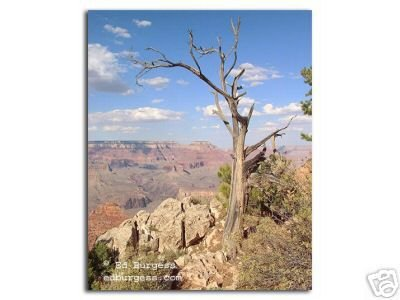 """Grand Canyon Sentinel"" Mather Point dead tree overlook ed burgess"